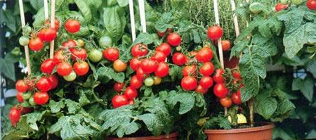 tomates-en-pot.jpg