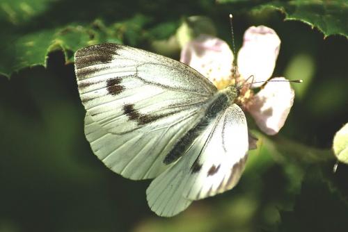 papillon, pièride.jpg